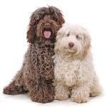 Designer Dog Breeds