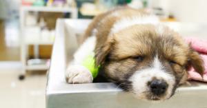 Dog Parvo Symptoms