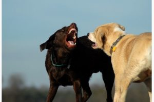 Aggression in Dog