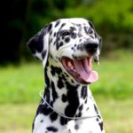 Health Problems in Dalmations