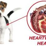 Heartworm Treatment – How to Cure Dog Heartworm