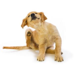 Dog Flea Treatment
