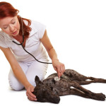 Causes, Symptoms and Treatment for Heart Murmur in Dogs