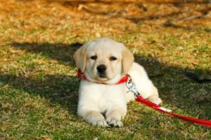 Leash Training Puppies