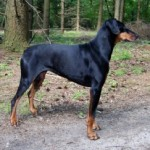 Hereditary Health Problems of Doberman Pinscher