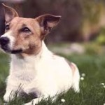 Jack Russell Terrier Health Problems – the Facts
