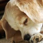 Dog Allergies – the Facts