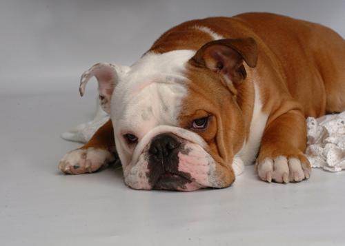 Bulldog Health Problems