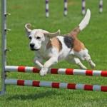 Agility Training Dog