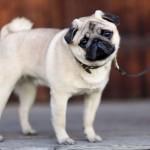 Dog Testicular Cancer
