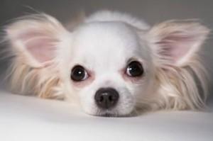 Small dog care