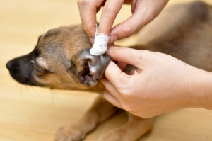 Dog Ear Care