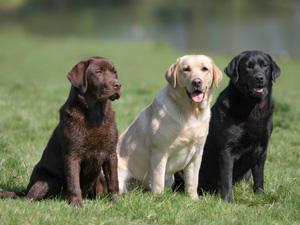 Popular Labrador Names