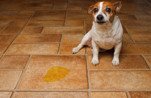 dog urination problem