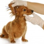 Keeping Your Dog's Ears Free from Infection