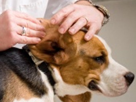preventing dog ear infections