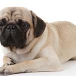 Pug Dog Health