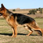 Elbow Dysplasia in Dogs