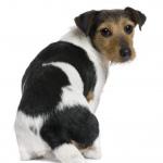 Canine Flatulence