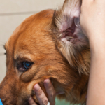 Protect Your Dog's Ear Health
