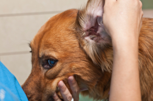 Dog Ear Health
