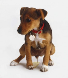 puppy urinary infections