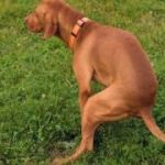 Dog Diarrhea Treatment and What to Feed a Dog With Diarrhea
