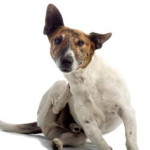External and Internal Parasites in Dogs