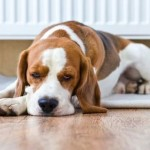 What is Dog Kidney Failure?