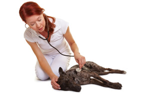 Heart Murmur in Dogs