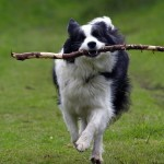Collie Training