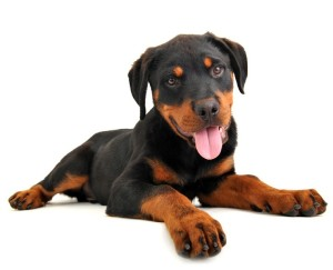 Rottweiler Dog Training Tips