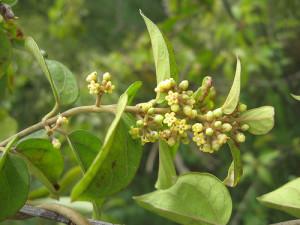 Gymnema Sylvestre or Gurmar