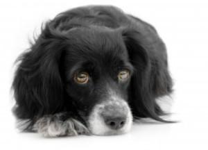 Dog health liver