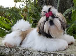 Shih Tzu Common Health Problems