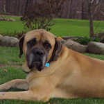 Mastiff Breeds