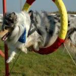 Used Dog Agility Equipment For Sale
