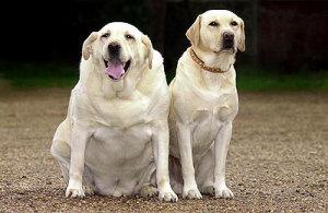 Dog Obesity