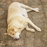 Bloat (Gastric Dilatation and Volvulus) in Dogs