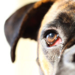 What You Need to Know About Dog Eye Care