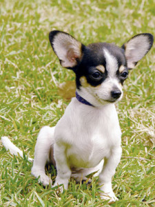 Chihuahua Training