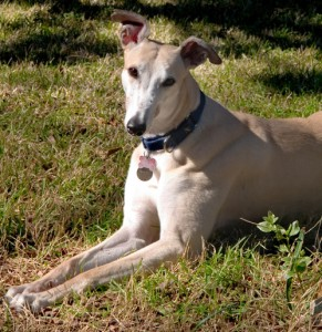 In Home Dog Training for Greyhounds